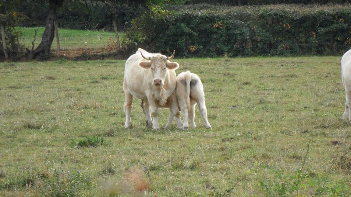 <en>Burgundy,Charollais cattle</en><fr>Région Bourgogne-Franche Comté France </fr><nl>Bourgogne Regio Frankrijk</nl>
